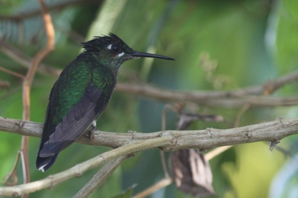 Green-crowned brilliant female, Cinchona, in Costa Rica, 15 March 2014