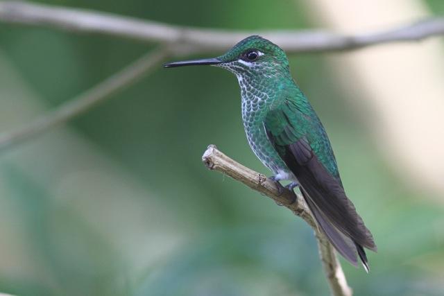 Hummingbirds, more hummingbirds in Costa Rica (2/6)