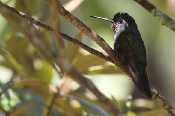 Green-crowned brilliant juvenile, Cinchona, 15 March 2014