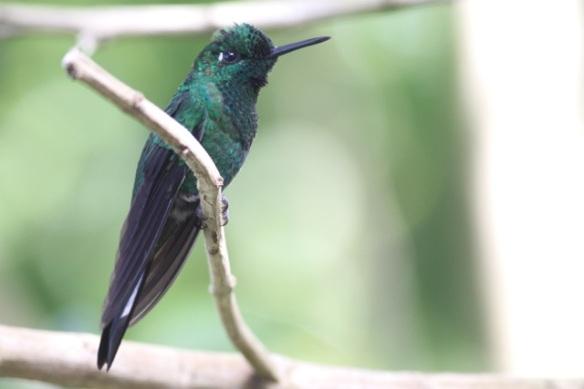 Green-crowned brilliant male, Cinchona, in Costa Rica, 15 March 2014