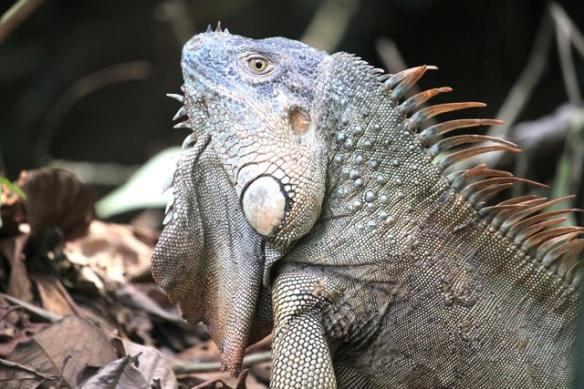 Green iguana, 17 March 2014