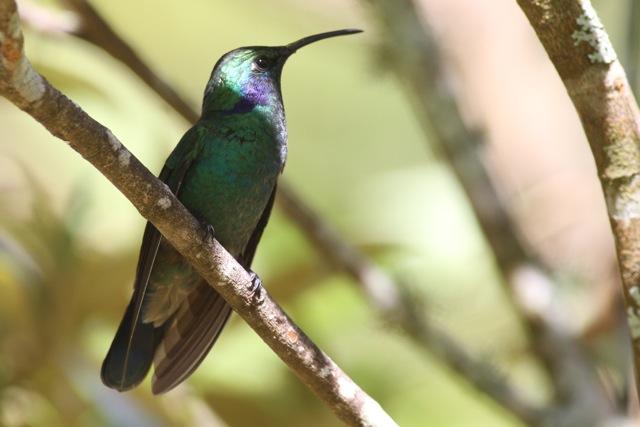 Hummingbirds, more hummingbirds in Costa Rica (3/6)