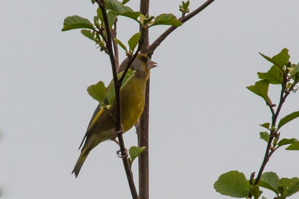Greenfinch, 21 April 2014