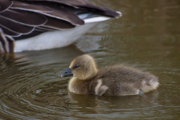 Grey lag goose gosling, 21 March 2014