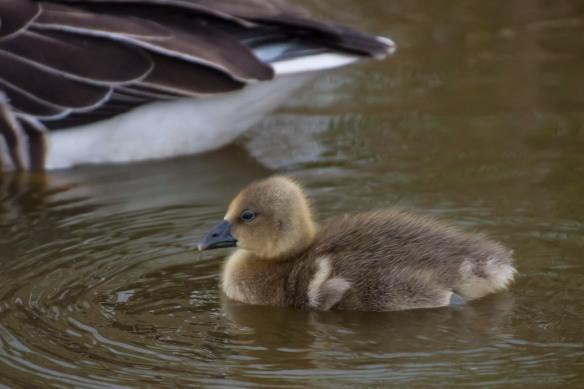 Grey lag goose gosling, 21 March 2014