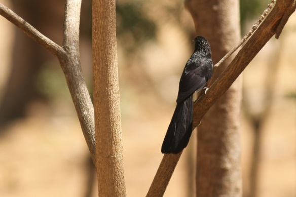 Groove-billed ani, 22 March 2014