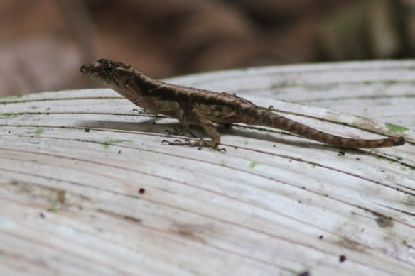 Ground anole, 16 March 2014