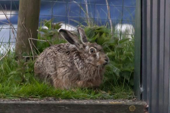 Hare, 21 April 2014