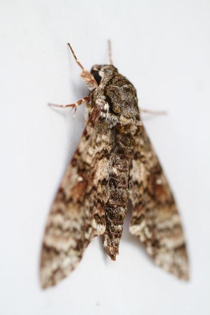 Hawk moth, 17 March 2014