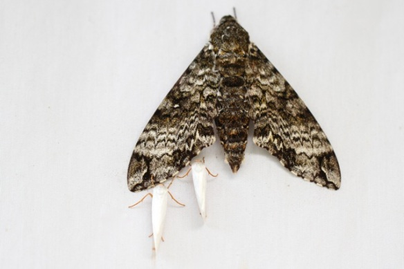 Hawk moth with two smaller moths, 17 March 2014