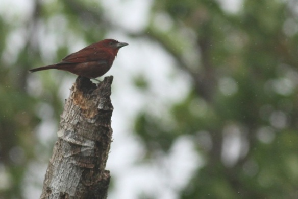 Hepatic tanager, 20 March 2014