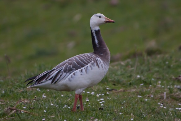 Hybrid goose, 21 March 2014