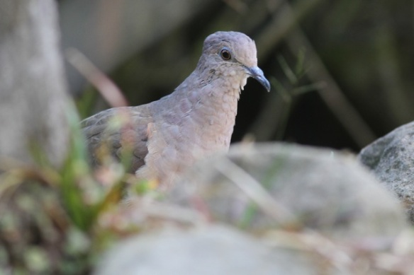 Inca dove, 19 March 2014