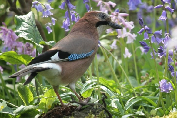 Jay among flowers, 25 April 2014