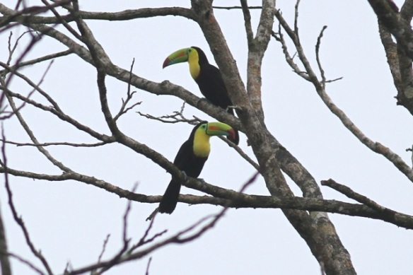 Keel-billed toucans, 16 March 2014