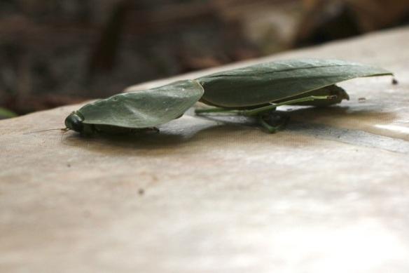 Leaf-mimicking praying mantis, 20 March 2014