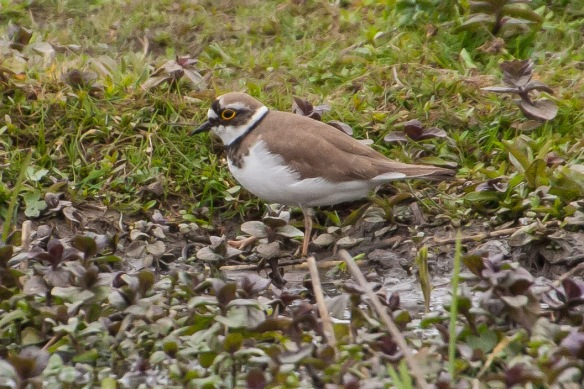 Little ringed plover, 21 April 2014