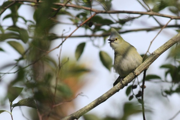 Long-tailed silky flycatcher, 18 March 2014