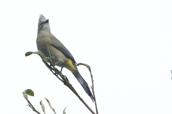 Long-tailed silky flycatcher, Costa Rica, 18 March 2014