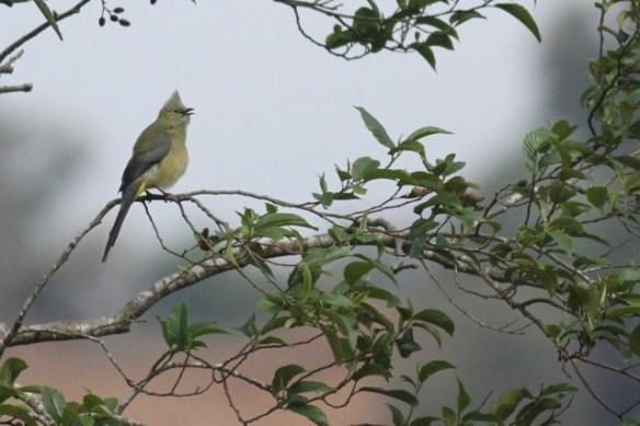 Long-tailed silky flycatcher sings, 18 March 2014