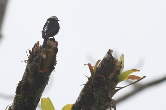 Long-tailed tyrant, 21 March 2014
