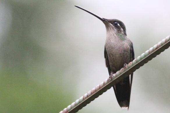 Magnificent hummingbird female, 17 March 2014