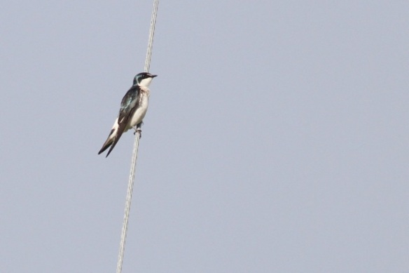 Mangrove swallow, 16 March 2014