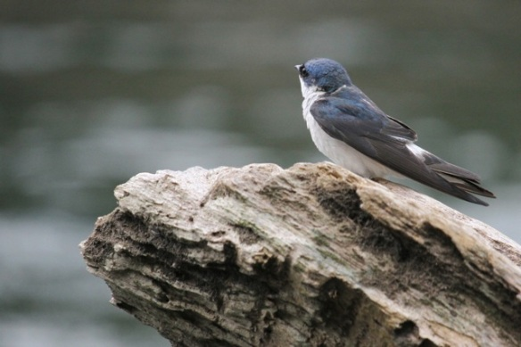 Mangrove swallow, river, 16 March 2014
