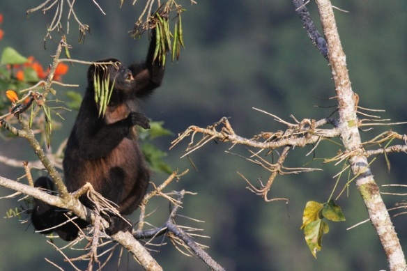Mantled howler monkey, 15 March 2014