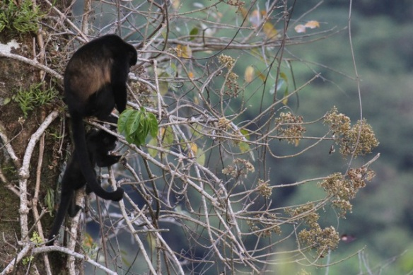 Mantled howler monkey and youngster, 15 March 2014