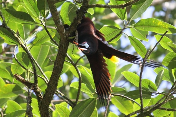 Montezuma's oropendola male, 17 March 2014