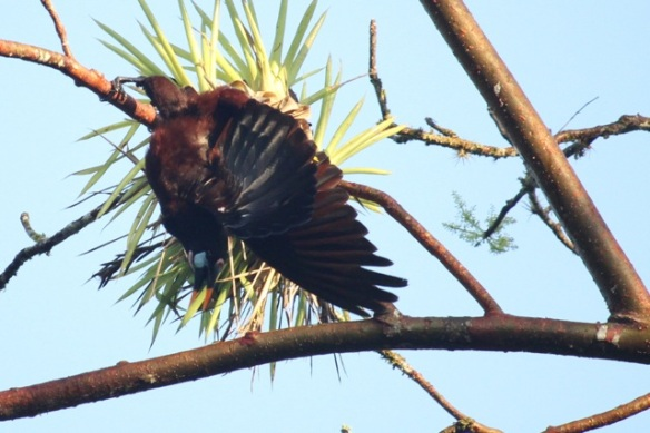 Montezuma's oropendola male, at nesting colony, 17 March 2014