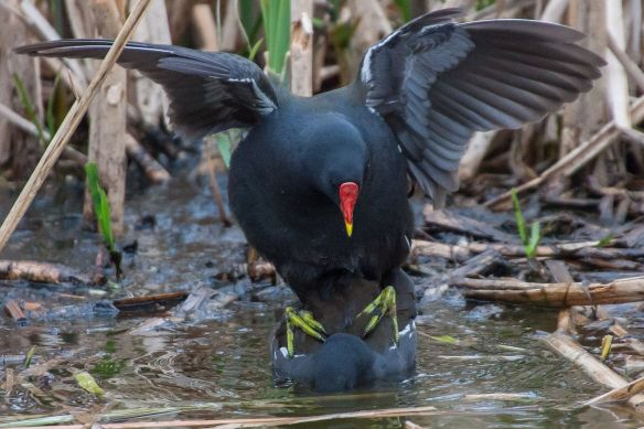 Moorhens mating, 21 April 2014