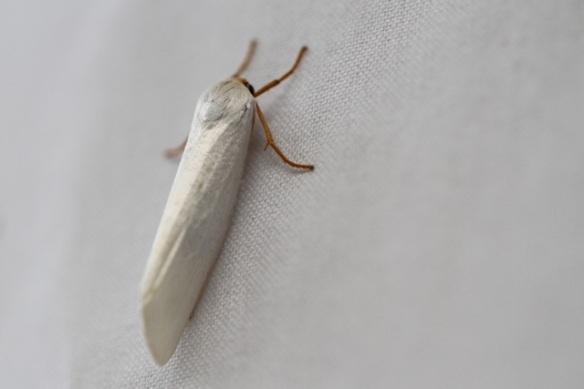 Moth, 17 March 2014