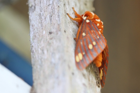 Moth, in Costa Rica, 17 March 2014
