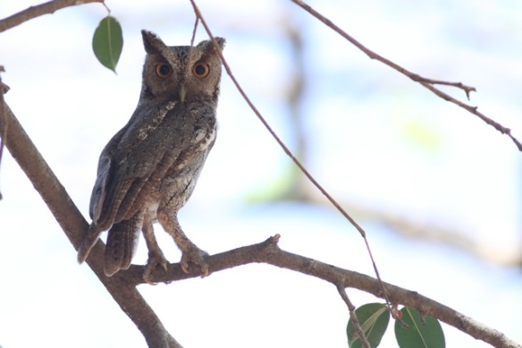 Pacific screech owl, 22 March 2014