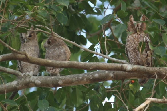 Pacific screech owls, 21 March 2014