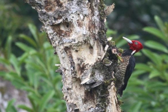 Pale-billed woodpecker male, 20 March 2014