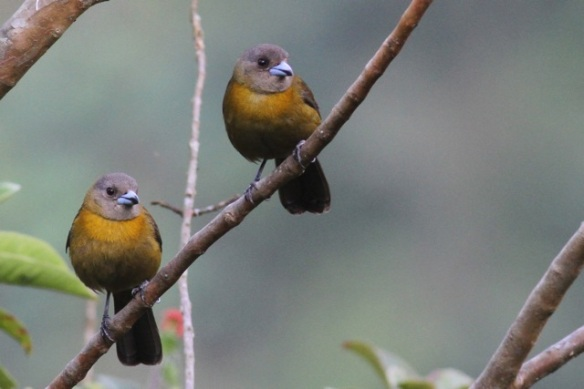 Passerini's tanager females, 15 March 2014