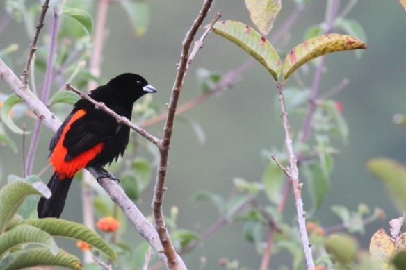 Passerini's tanager male, 15 March 2014