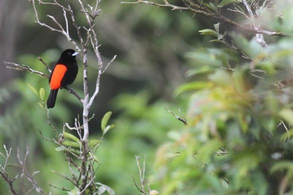 Passerini's tanager male, Costa Rica, 20 March 2014