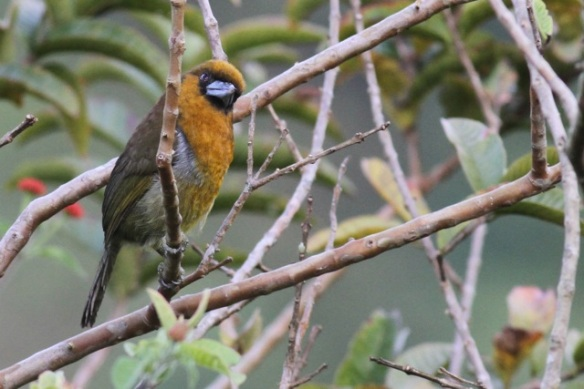 Prong-billed barbet, 15 March 2014