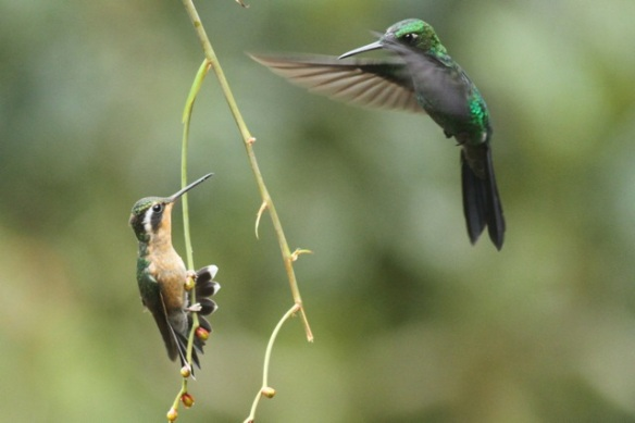 Purple-throated mountain-gem and green-crowned brilliant, 18 March 2014
