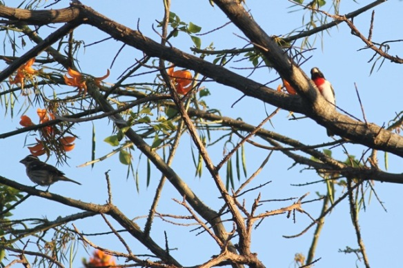 Rose-breasted grosbeaks, female and male