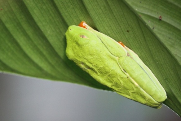 Red-eyed tree frog, 17 March 2014