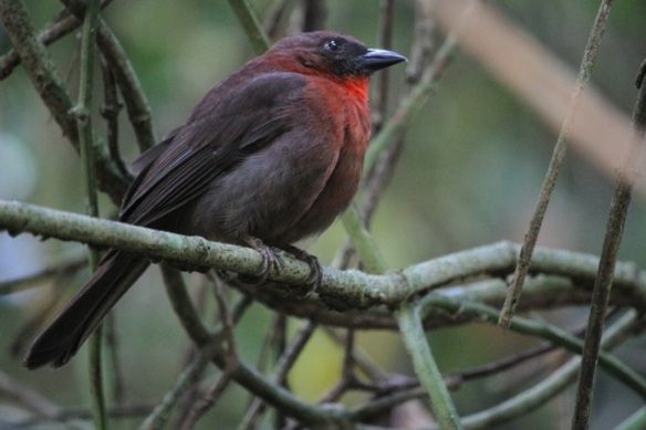Red-throated ant tanager, 17 March 2014