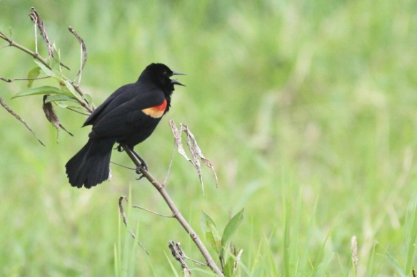 Red-winged blackbird, 17 March 2014