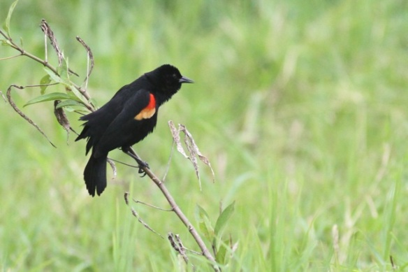Red-winged blackbird on grass, 17 March 2014