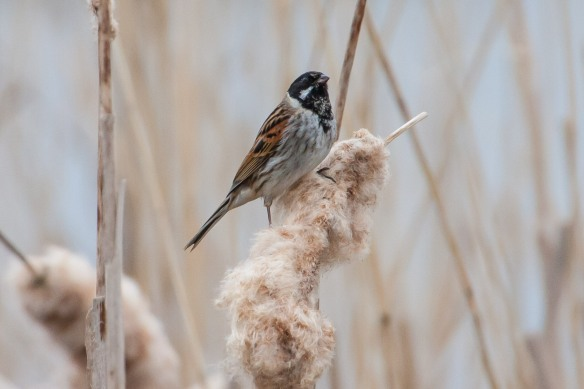 Reed bunting male, 21 April 2014