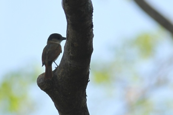 Rose-throated becard, 22 March 2014